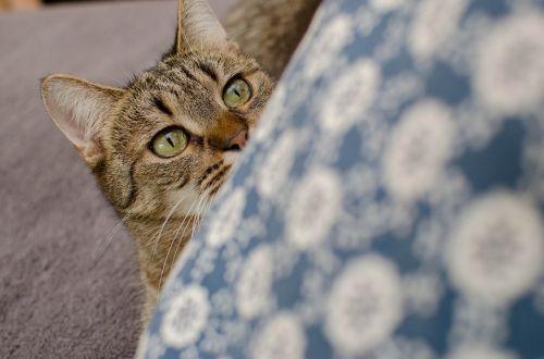 cat bury cat domestic cat