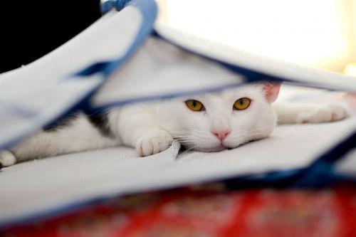cat domestic cat animal