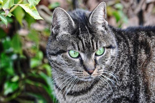 cat tabby animal