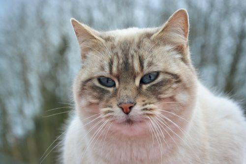 cat pussy nala portrait eyes blue