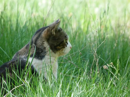 cat feline head
