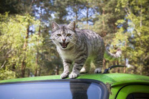cat grey domestic cat