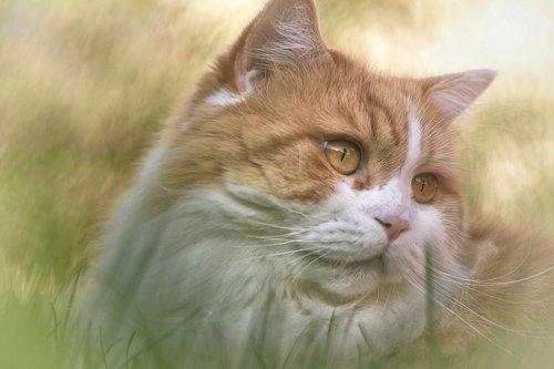 cat  british long hair  breed cat