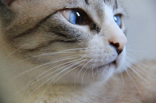 cat  portrait  animalia