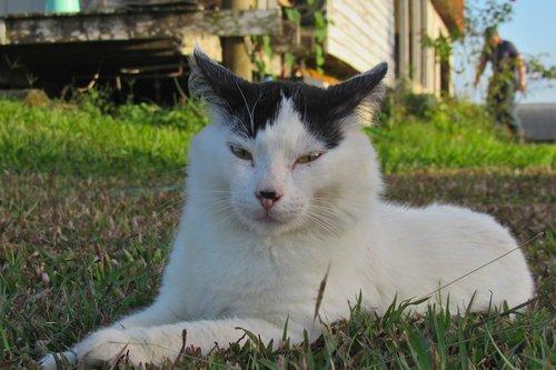 cat  white  pet