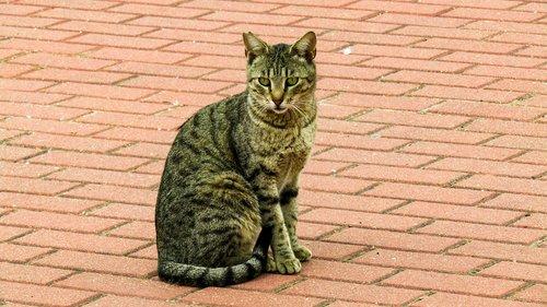 cat  animalia  nature