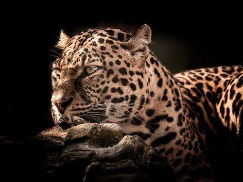 cat  wildlife  leopard