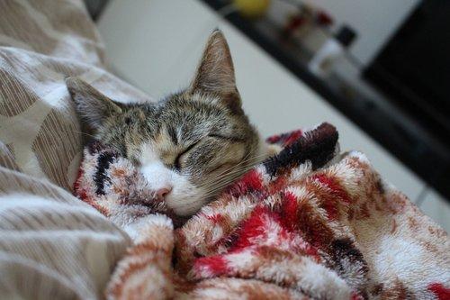 cat  sleeping cat  fluffy cat