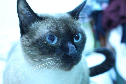 cat  blue eyes  feline