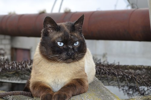 cat  siamese cat  the owner