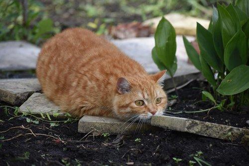 cat  redhead  hunts