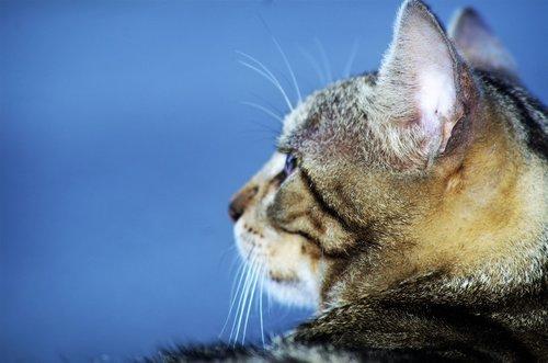 cat  cat european  calico cat