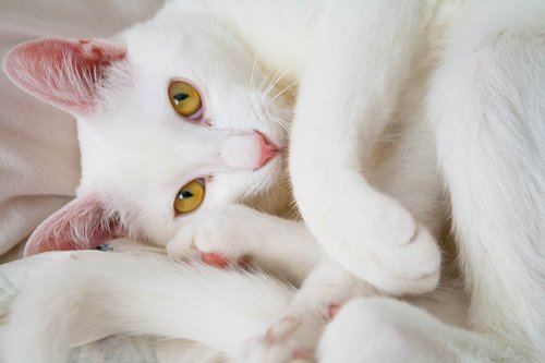 cat  white  animal