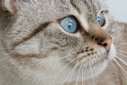 cat  white  grey