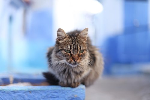 cat  tiger  morocco
