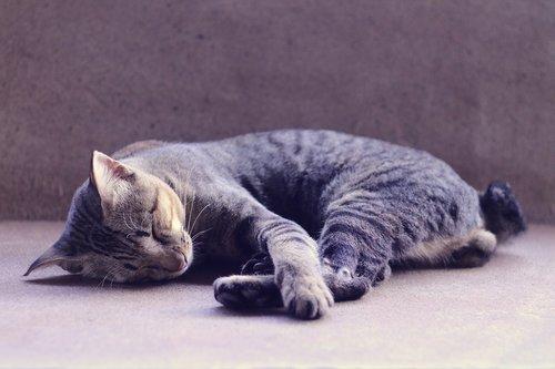 cat  sleeping  animal