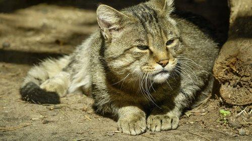 cat  wild  carpathian