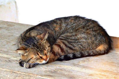 cat  sleep  kitten