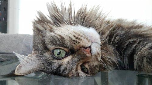 cat  maine coon  pet