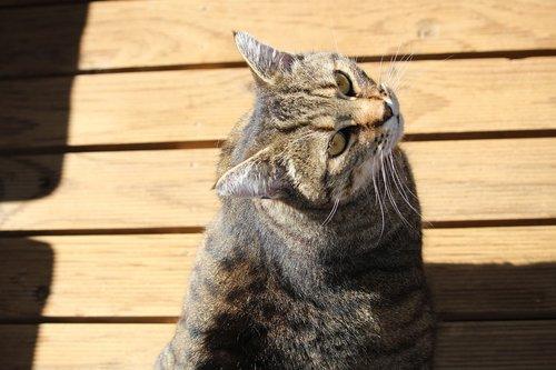 cat  domestic cat  moggie