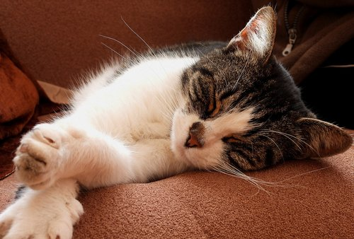 cat  dachowiec  animal