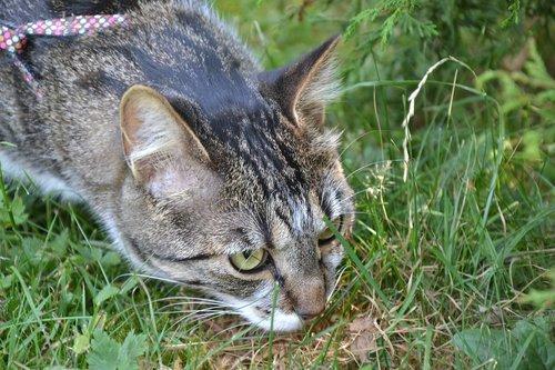 cat  hunting  lurking