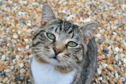 cat  staring  animal