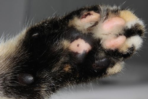 cat paw fur