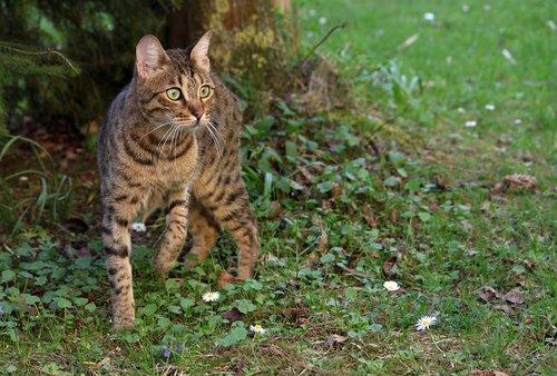 cat  bengal  wild
