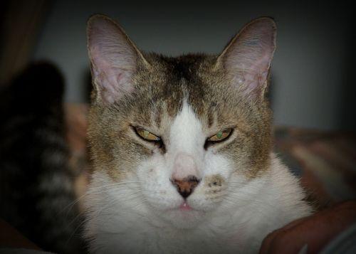 cat evil eye eyes