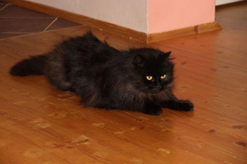 cat black animal