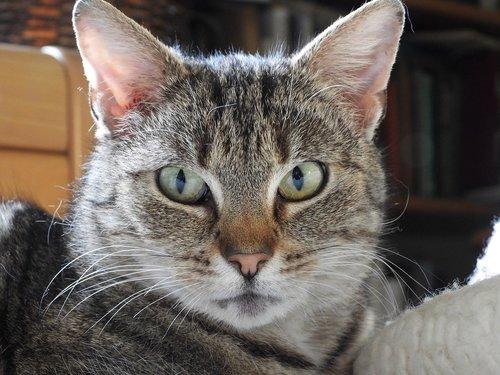 cat  kitten  dachowiec