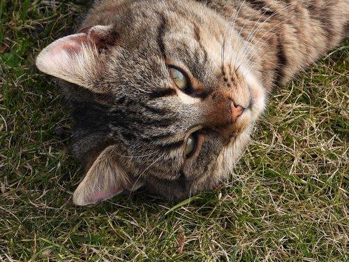 cat  kitten  grayish-brown