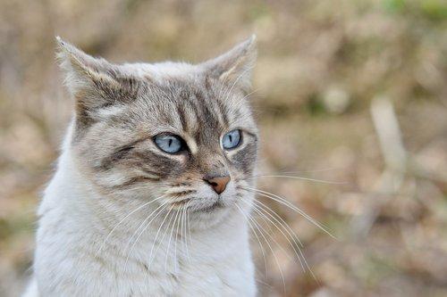cat  pussy  cat blue eyes