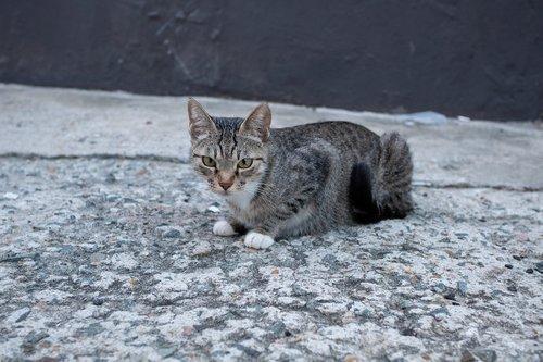 cat  animal  feral cat
