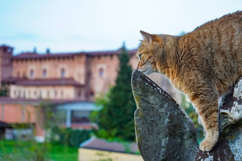 cat  cat european  agility