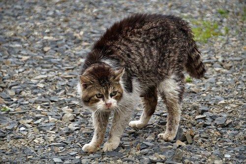 cat  bristling  fight