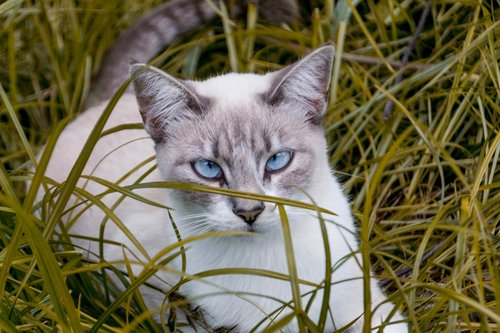 cat  blue eyes  pet