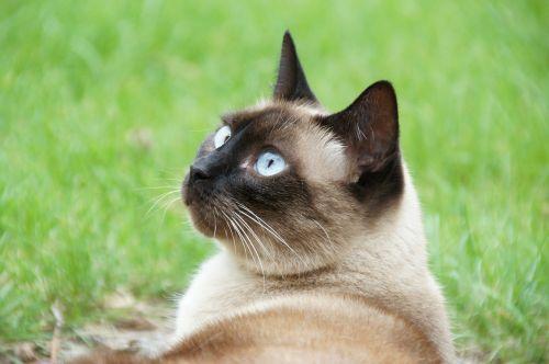 cat animal siamese thai - round head