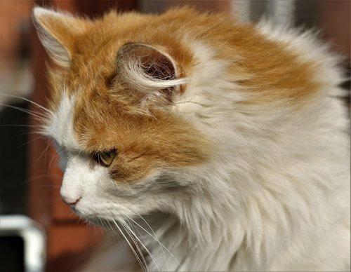 cat  ginger  starring