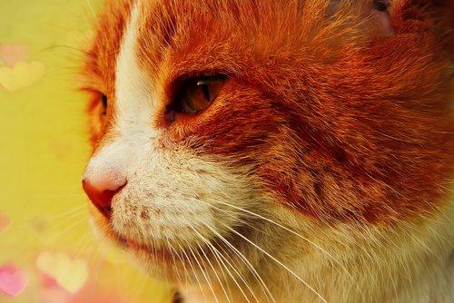 cat  rudy  portrait