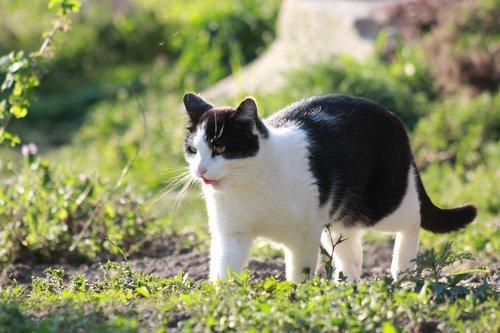 cat  black and white  animal