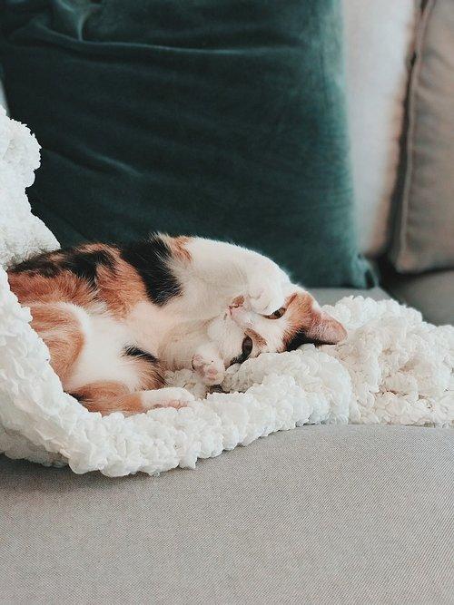 cat  cute  calico