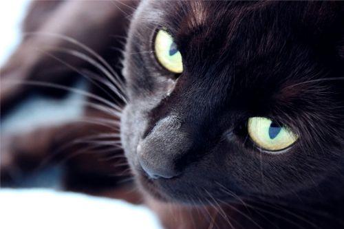 cat domestic black