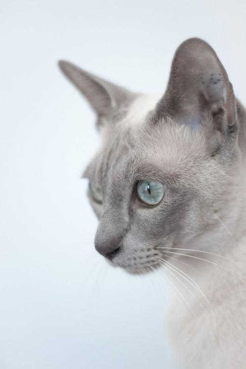 cat exotic animal