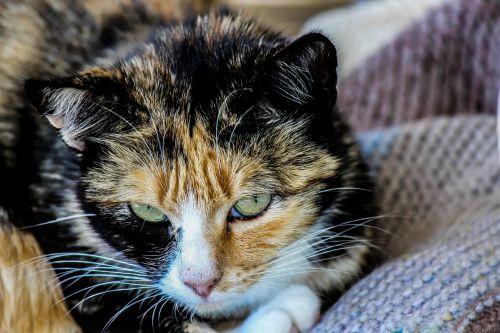 cat feline domestic animals