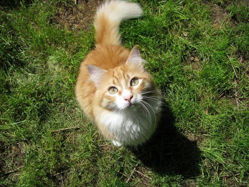 cat red pet