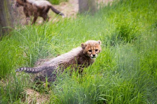 cat cheetah cheetah cub
