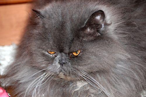 cat furry animals