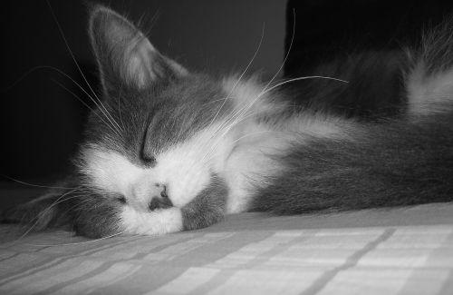 cat persian cat feline